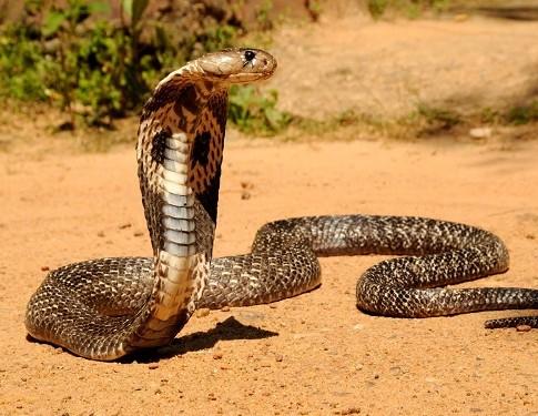 serpientes-india-485x375